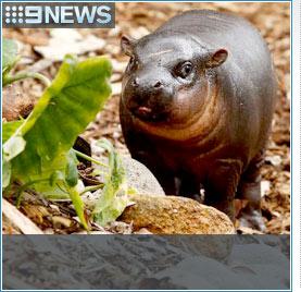 Rare pygmy hippo