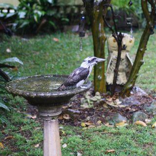 Kookaburra getting ready to fly