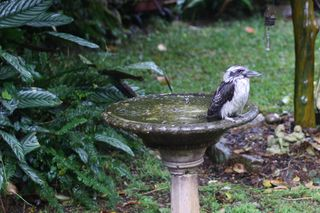 Kookaburra on bath