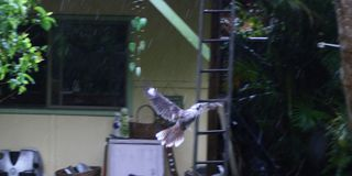 Kookaburra in flight