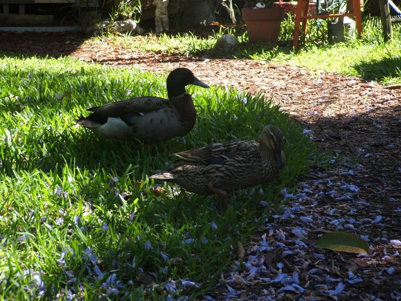 Quacky_visitors_again_011